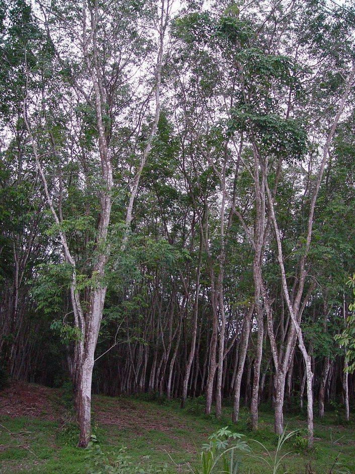 ゴムの木 Para rubber tree